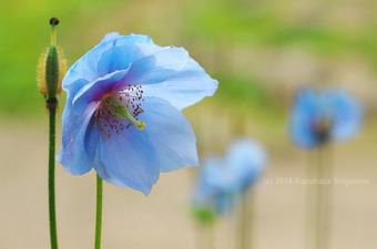 ヒマラヤの青いケシ(d20140722-067)